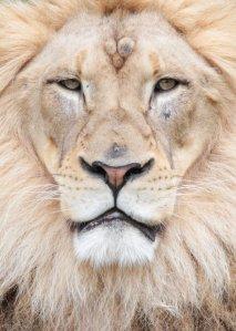 17735-lion-face-pv